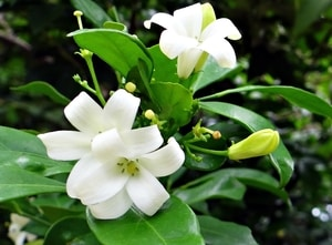 Murraya - good poolside plant